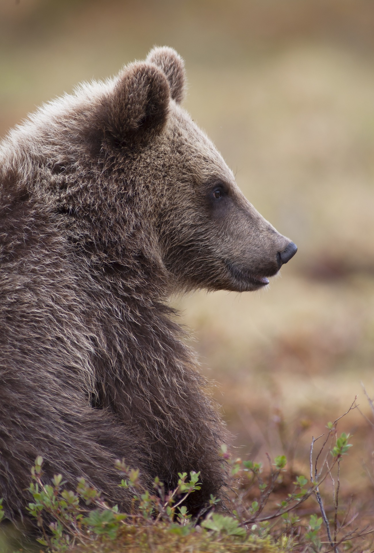 Der Bauer und der Bär